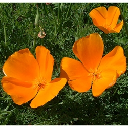 California Poppy (Eschscholzia californica ) Dried Herb