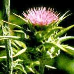 Milk Thistle Seed Powder (Silybum marianum)