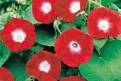 Morning Glory Seeds - Crimson Rambler