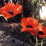 Red Poppy Flower Petals (Papaver rhoeas)