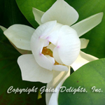 White Lotus Flowers (Nymphaea alba)